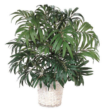 "Picture of Potted Parlour 28"" Palm"
