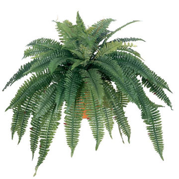 "Picture of 48"" Boston Fern"